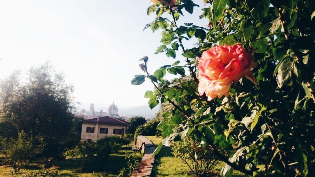Róża i widok na Florencję z ogrodu różanego
